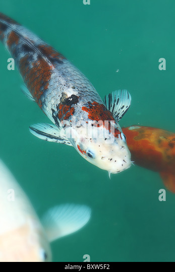 Fengshui stock photos fengshui stock images alamy for Green koi fish for sale