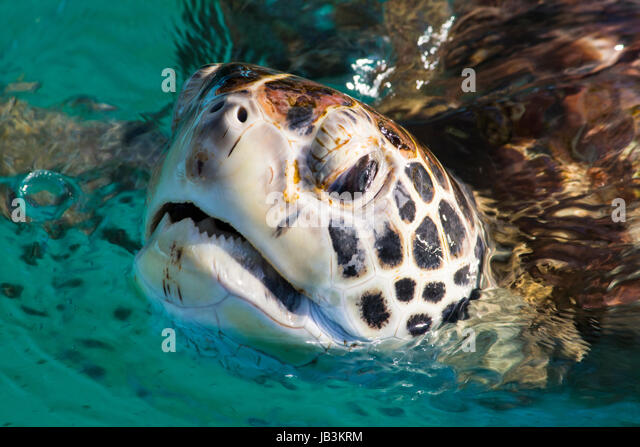 Green Turtle lifting head to breathe - Stock Image
