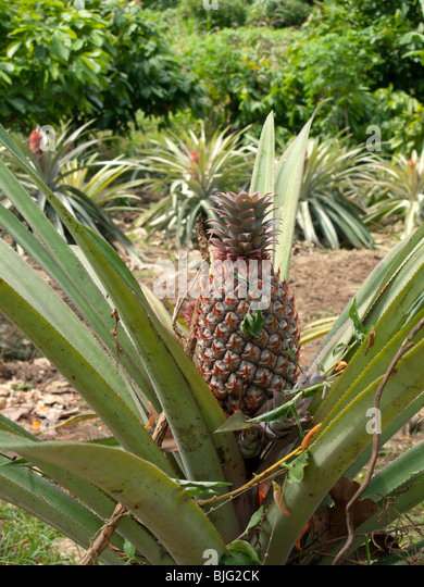 A Portrait Close Up View Of Growing Pineapple Plant In Field Tobago
