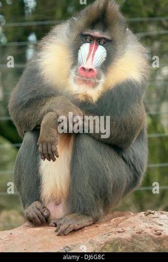 Male Baboon Grooming Female Stock Photo - Image: 31322560