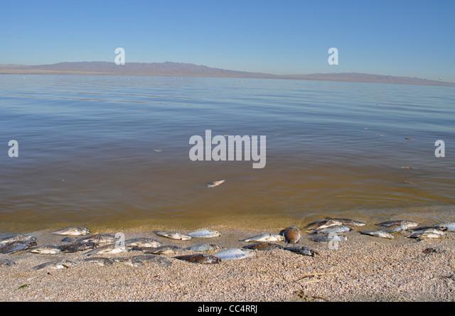 Dead fish stock photos dead fish stock images alamy for Salton sea fishing