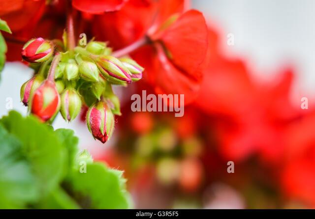 Close Up Red Geranium Stock Photos & Close Up Red Geranium ...