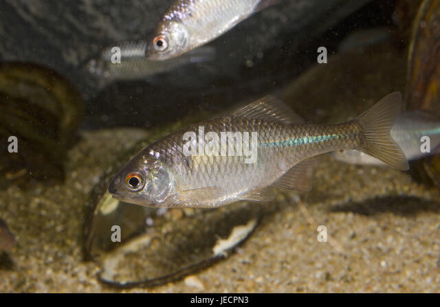 Bitterling rhodeus sericeus stock photos bitterling for Bitterlinge fische