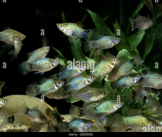how to breed neon fish