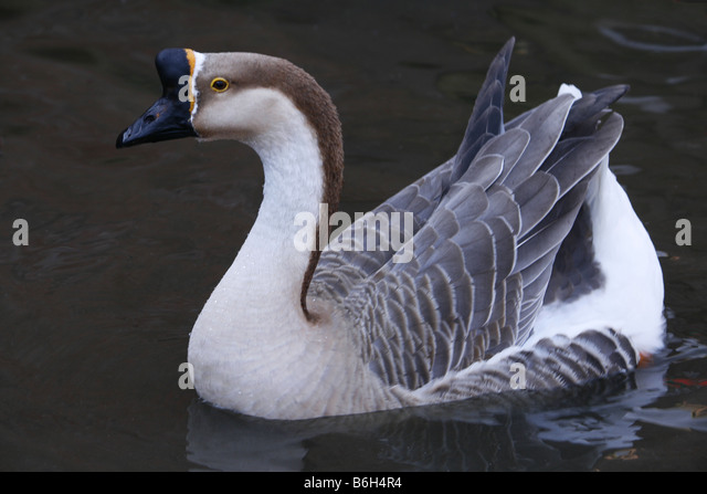 African goose vs chinese goose - photo#22