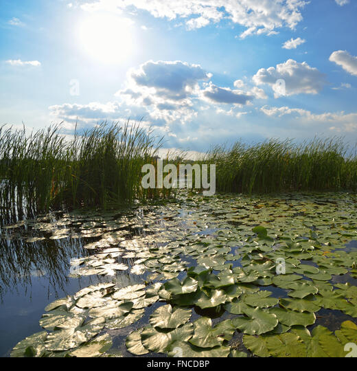 Water lotus flower morning stock photos water lotus for Pond reeds for sale