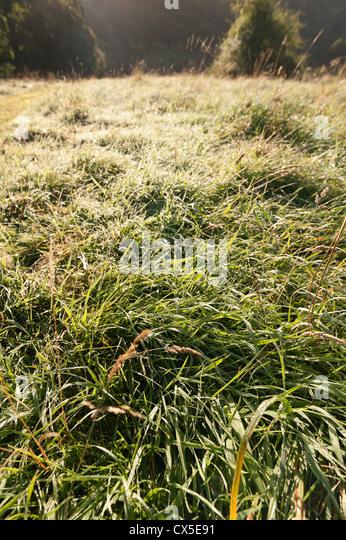 Festuca rubra stock photos festuca rubra stock images for Wild grass landscaping