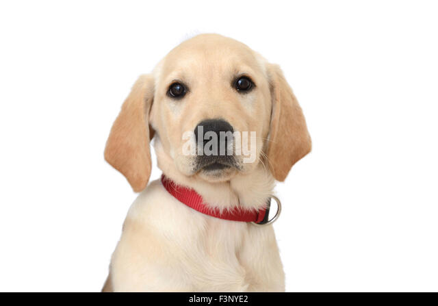 Labrador golden retriever hybrid