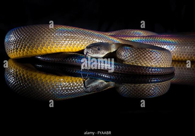 Water Python - Liasis fuscus - Snake Profiles - Snake Ranch