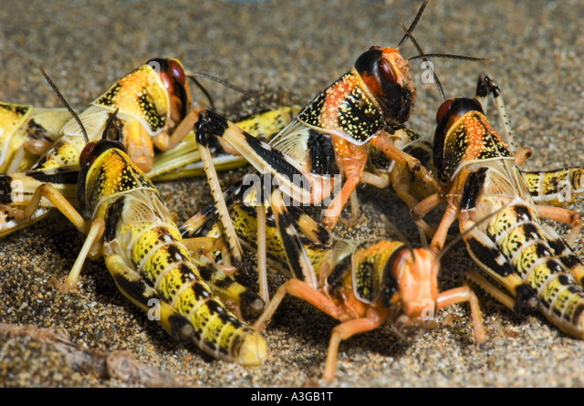 how to prepare locusts to eat