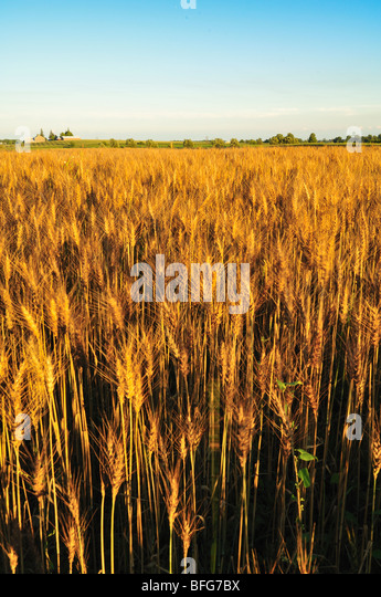 Fergus (ON) Canada  city photos gallery : Red Winter Wheat, Fergus, ON, Canada Stock Image