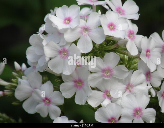 White Flowers Pink Centers Stock Photos & White Flowers Pink Centers ...