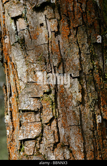 what is a tree trunk covered with 4 letters - crataegus stock photos crataegus stock images alamy