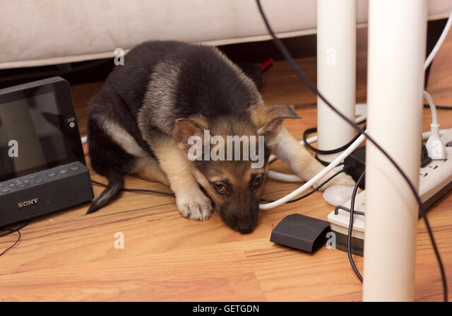 dog with cords stock photos dog with cords stock images alamy. Black Bedroom Furniture Sets. Home Design Ideas