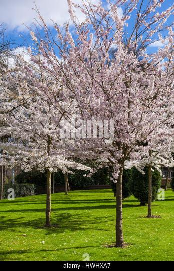 Nottingham university campus stock photos nottingham university campus stock images alamy - Romanian cherry tree varieties ...