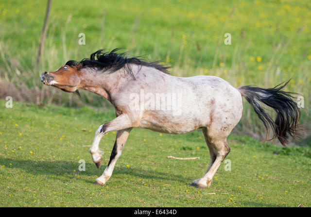 strawberry roan horse stock photos amp strawberry roan horse