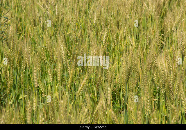 wheat pakistan Wwwparcgovpk.