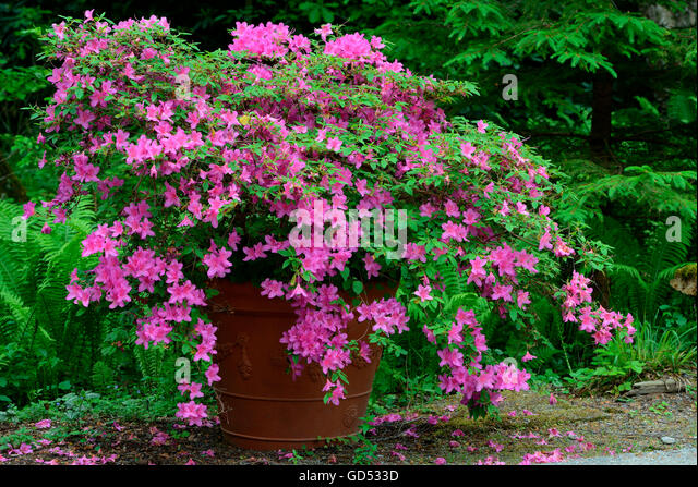azalea pot plant stock photos azalea pot plant stock images alamy