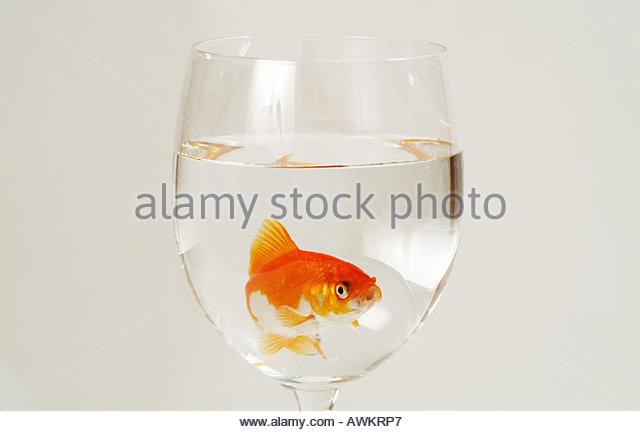 goldfisch stock photos goldfisch stock images alamy. Black Bedroom Furniture Sets. Home Design Ideas