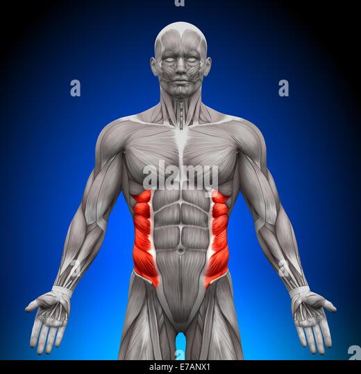 External oblique anatomy