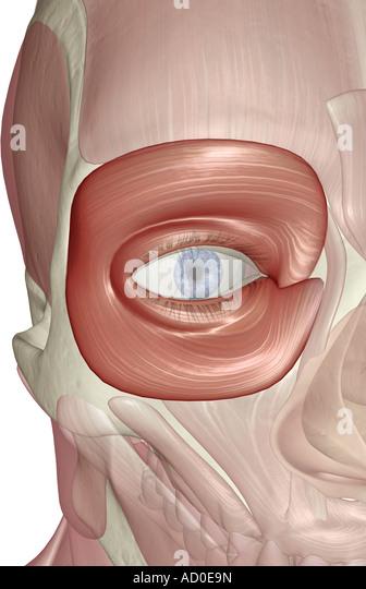 orbicularis oculi muscle stock photos & orbicularis oculi muscle, Human body
