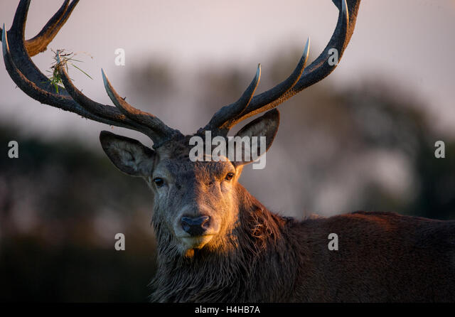stag close up stock photos stag close up stock images. Black Bedroom Furniture Sets. Home Design Ideas