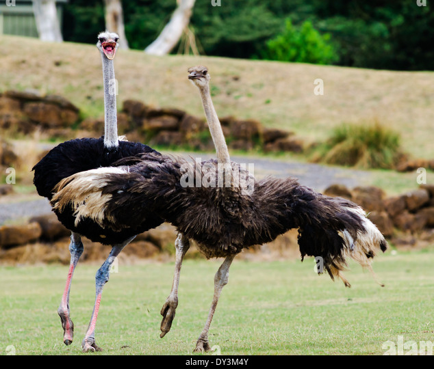 relationship between ostriches and zebras running