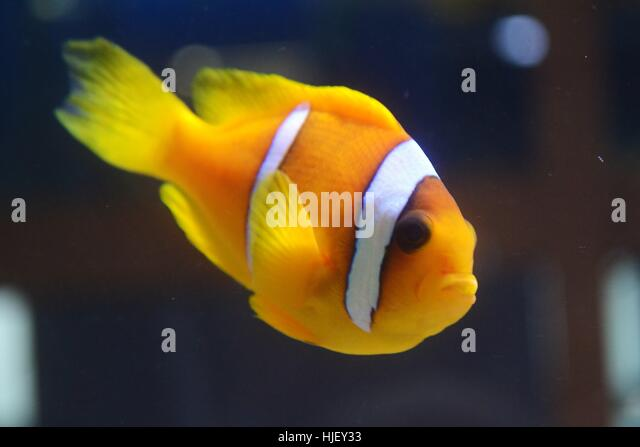 Goldfisch stock photos goldfisch stock images alamy for Zierfisch teich