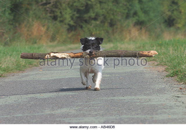 Dog Carrying Treat But Not Eating