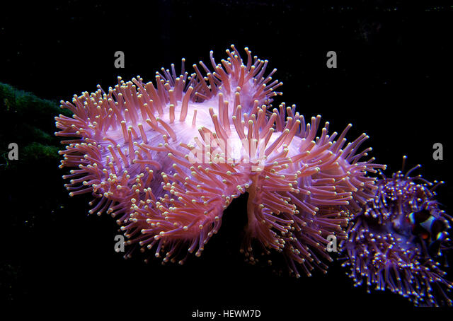 Sea Anemones Look Like Flowers But Are Actually Animals Their Petals Armlike