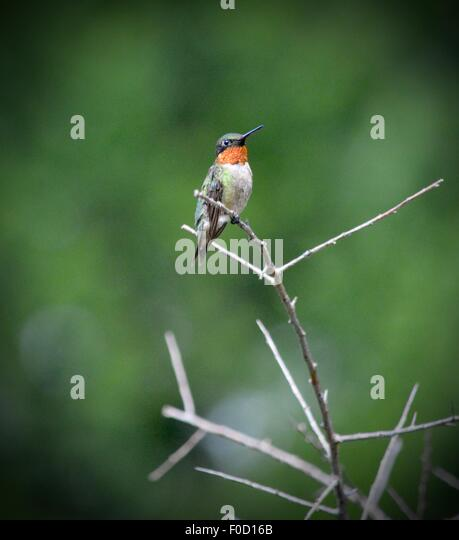 ruby throated stock photos ruby throated stock images alamy. Black Bedroom Furniture Sets. Home Design Ideas