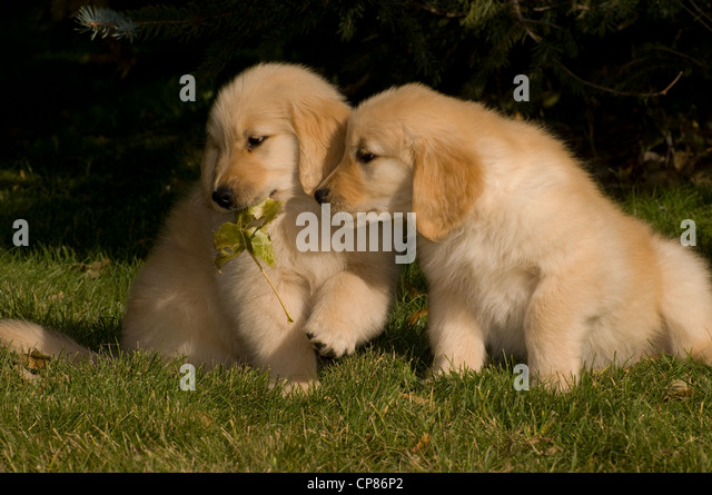 puppy with stick in mouth stock photos puppy with stick in mouth stock images alamy. Black Bedroom Furniture Sets. Home Design Ideas