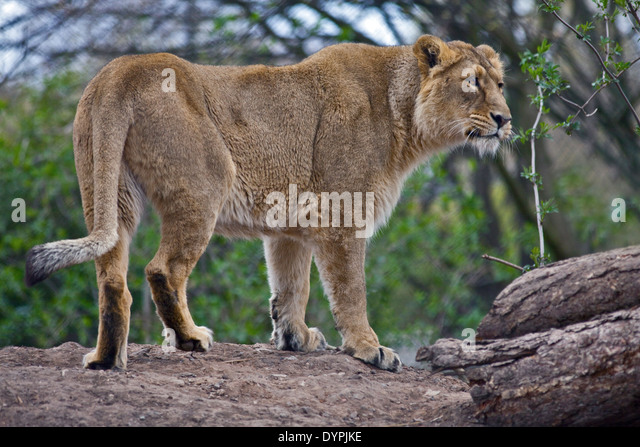 Panthera leo persica - photo#52