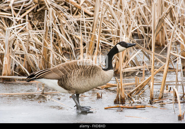 Canada Goose womens online price - Geese Frozen Pond Stock Photos & Geese Frozen Pond Stock Images ...