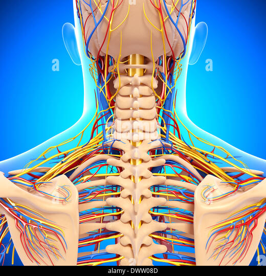 peripheral nervous system drawing stock photos