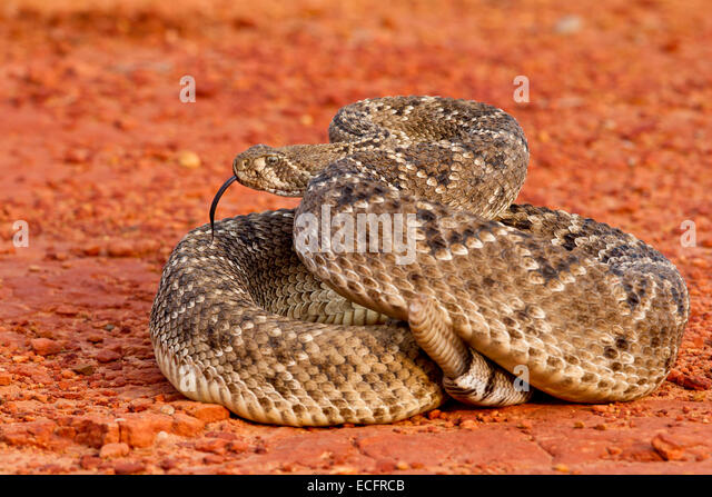 Diamondback Rattlesnake Stock Photos & Diamondback ... Western Diamondback Rattlesnake Striking