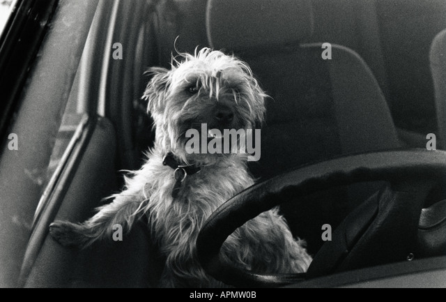 Behind The Steering Wheel : Dog steering wheel stock photos
