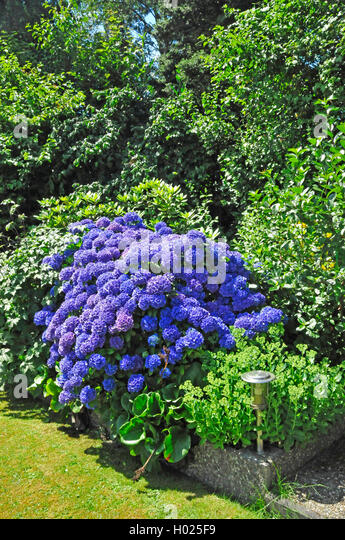 garten hortensien stock photos garten hortensien stock. Black Bedroom Furniture Sets. Home Design Ideas