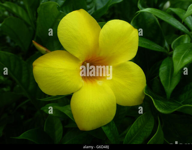 yellow tropical flowers stock photos  yellow tropical flowers, Natural flower