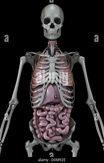 metallic human skeleton organs trunk stock photos & metallic human, Skeleton