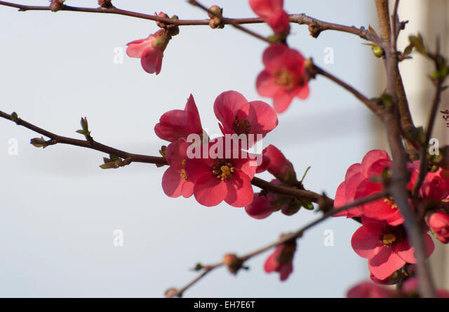 flowering quince blooming in february in downtown olympia wa stock image - Quince Flower