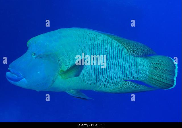 Humphead Stock Photos & Humphead Stock Images - Alamy | 640 x 449 jpeg 64kB