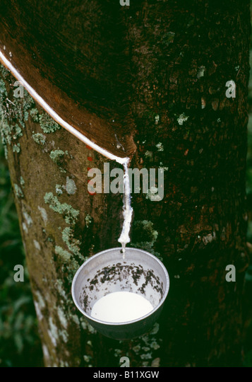 Tapping Latex From Rubber Tree Stock Photos Amp Tapping