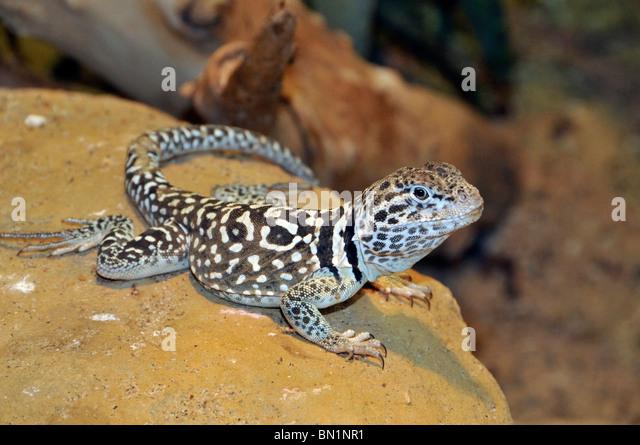 "Eastern Collared Lizard Crotaphytus collaris ""-New Mexico Stock ..."