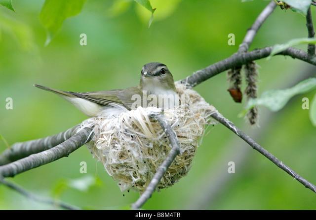 Red eyed vireo nest - photo#46