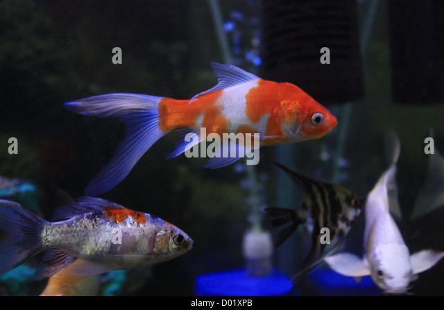 Freshwater fish aquarium fish tropical fish pictures of for Freshwater tropical fish for sale