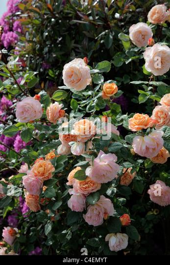 rosa charles austin david austin stock photos rosa. Black Bedroom Furniture Sets. Home Design Ideas