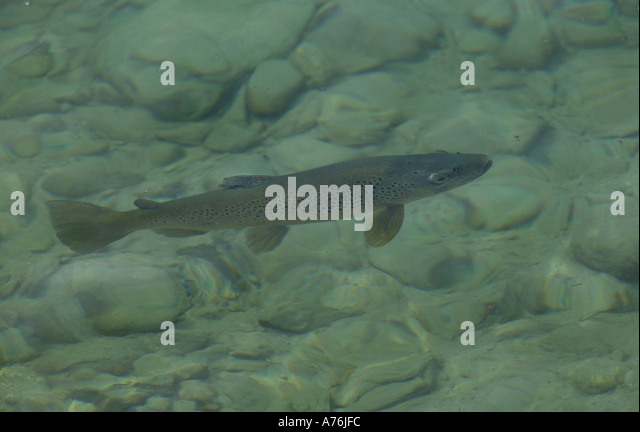 Rising trout stock photos rising trout stock images alamy for Rising fly fishing