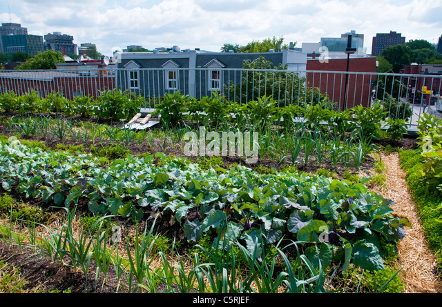 Montreal Green rooftop vegetable garden at the Santropol Roulant center  that distributes meals to people with. Rooftop Vegetable Garden Stock Photos   Rooftop Vegetable Garden