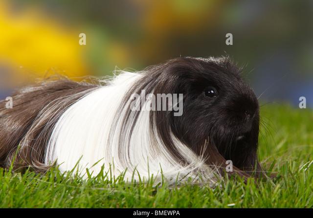 Sheltie guinea pigs - photo#34